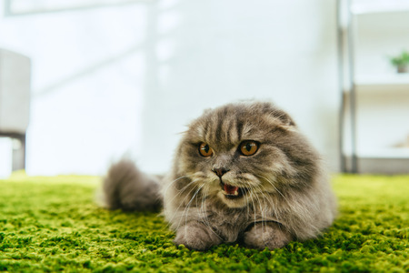 selective focus of adorable british longhair cat laying on floor
