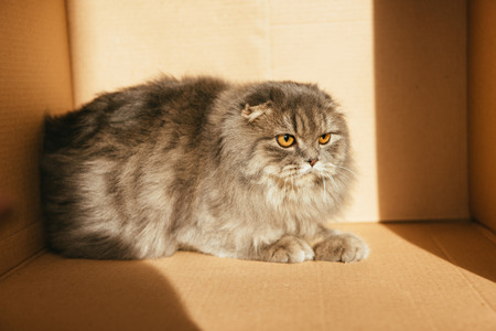 cute british longhair cat in cardboard box with sunlight Stock fotó