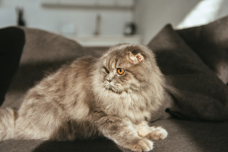 selective focus of adorable grey british longhair cat on sofa