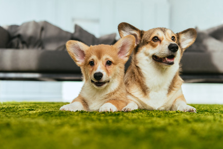 selective focus of two cute welsh corgi dogs laying on green lawn at home Imagens