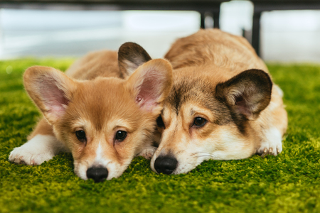 two cute welsh corgi dogs laying on green lawn at home