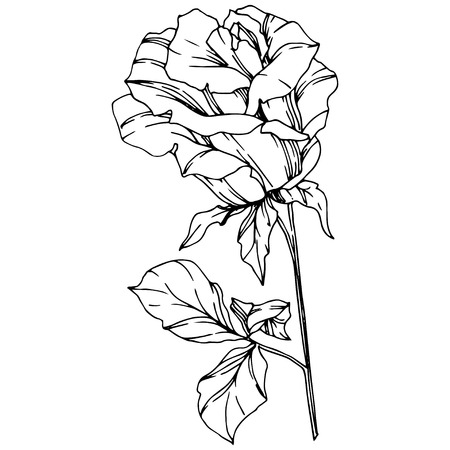 Vector Rose. Floral botanical flower. Black and white engraved ink art. Isolated rose illustration element. Wild spring leaf wildflower isolated.