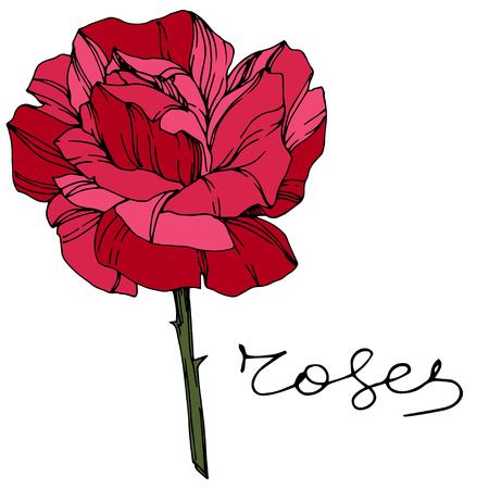 Vector Rose. Floral botanical flower. Red engraved ink art. Isolated rose illustration element. Wild spring leaf wildflower isolated. Stock Illustratie