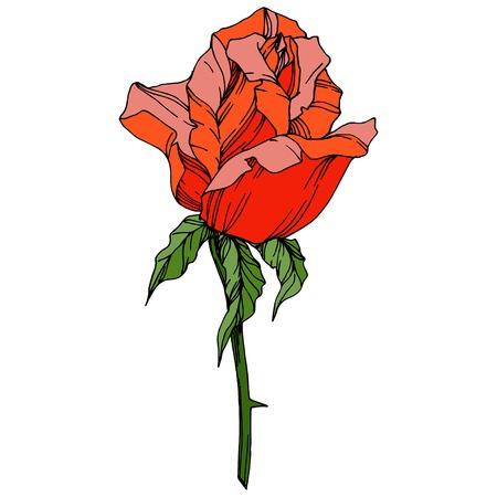 Vector Rose. Floral botanical flower. Orange color engraved ink art. Isolated rose illustration element. Wild spring leaf wildflower isolated.