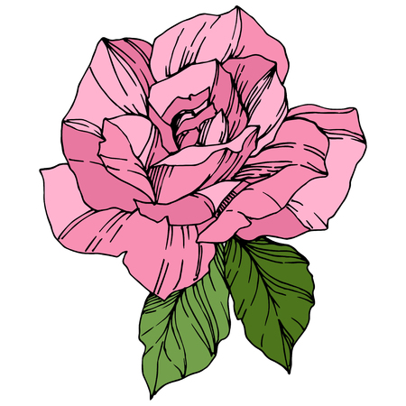 Vector Rose. Floral botanical flower. Pink color engraved ink art. Isolated rose illustration element. Wild spring leaf wildflower isolated.