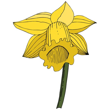 Vector Narcissus. Floral botanical flower. Yellow engraved ink art. Isolated narcissus illustration element on white background. Illustration