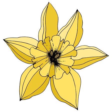Vector Narcissus. Floral botanical flower. Yellow engraved ink art. Isolated narcissus illustration element on white background.  イラスト・ベクター素材
