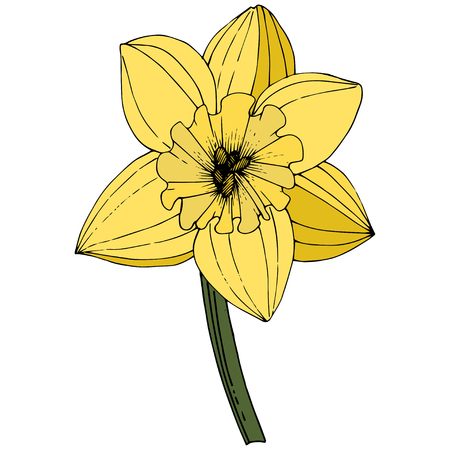 Vector Narcissus. Floral botanical flower. Yellow engraved ink art. Isolated narcissus illustration element on white background. 일러스트