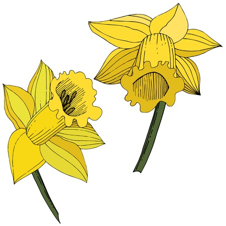 Vector Narcissus. Floral botanical flower. Yellow engraved ink art. Isolated narcissus illustration element on white background. 向量圖像