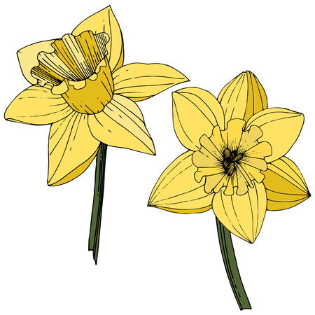 Vector Narcissus. Floral botanical flower. Yellow engraved ink art. Isolated narcissus illustration element on white background. Illusztráció