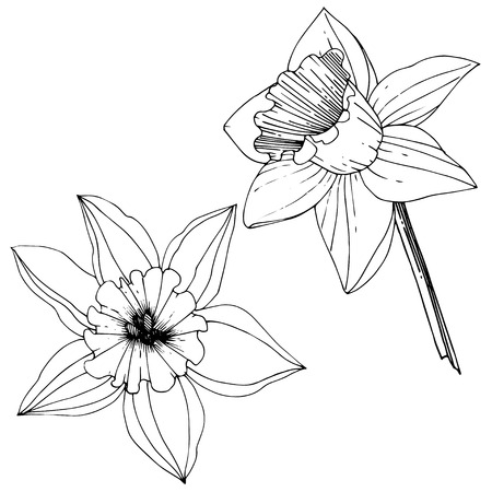 Vector Narcissus. Floral botanical flower. Black and white engraved ink art. Isolated narcissus illustration element on white background.