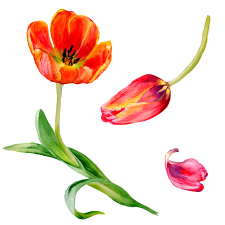 Amazing red tulip flower with green leaf. Hand drawn botanical flower. Watercolor background illustration set. Isolated red tulip illustration element. Stok Fotoğraf