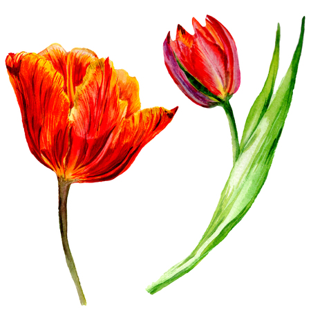 Amazing red tulip flower with green leaf. Hand drawn botanical flower. Watercolor background illustration set. Isolated red tulip illustration element. Banco de Imagens