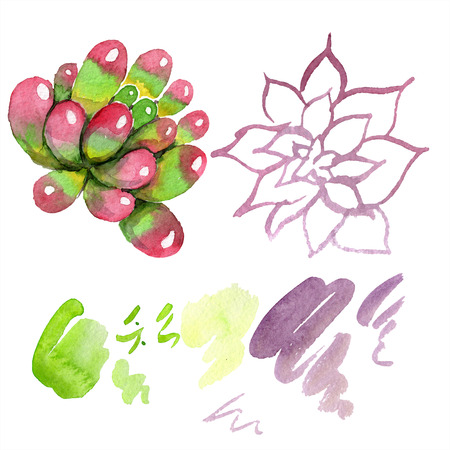 Amazing succulent. Floral botanical flower. Watercolor background illustration set. Aquarelle hand drawing isolated succulent and stain.