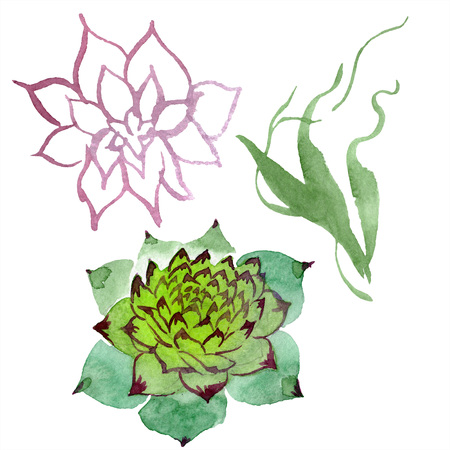 Amazing succulent. Floral botanical flower. Watercolor background illustration set. Aquarelle hand drawing isolated succulent.