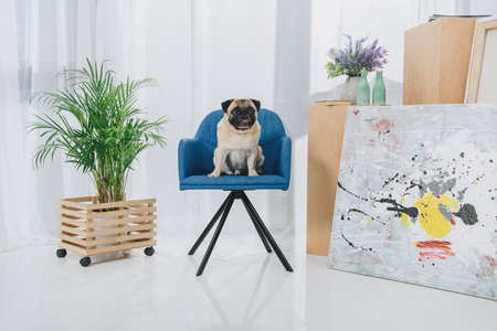 Cute pug sitting on chair at home