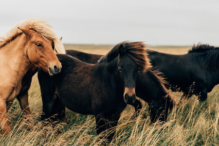beautiful black and brown horses on pasture in Iceland Stok Fotoğraf