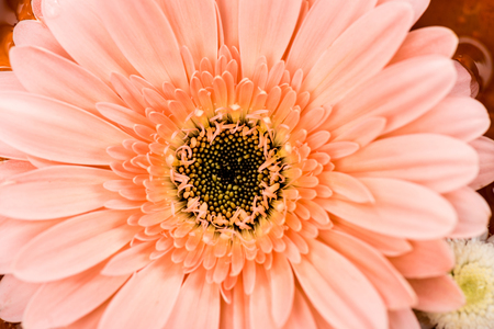 close up view of pink gerbera flower