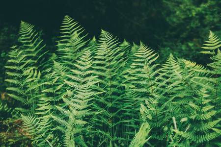 close-up view of beautiful green fern growing in Indian Himalayas, Manali