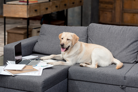 funny labrador dog lying on couch with documents and laptop Stock Photo