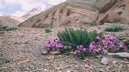 close-up view of beautiful purple flowers blooming in rocky mountains in Indian Himalayas, Ladakh region Stock Photo