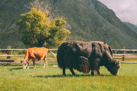 brown cow and bison grazing on pasture on mountains, Altai, Russia