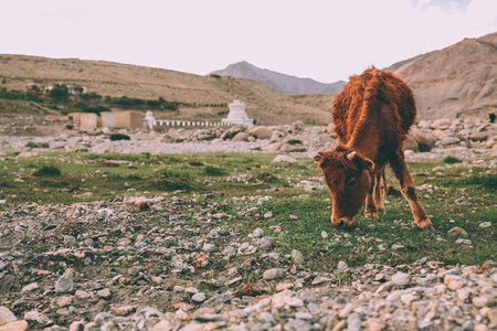 brown cow grazing on grass in Indian Himalayas, Ladakh region Banco de Imagens - 114327610