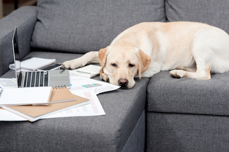 exhausted labrador dog lying on couch with documents and laptop Stock Photo