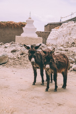 two funny donkeys looking at camera while standing near stupa in Leh, Indian Himalayas 写真素材