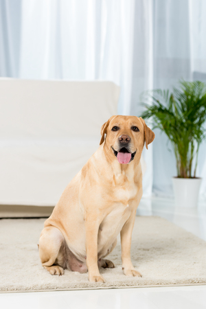 adorable yellow labrador sitting onfloor of living room and looking at camera Reklamní fotografie