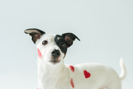 funny jack russell terrier dog in red hearts, on white Stock Photo