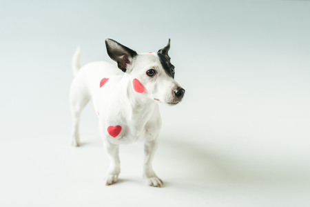 funny dog in red hearts for valentines day, on white