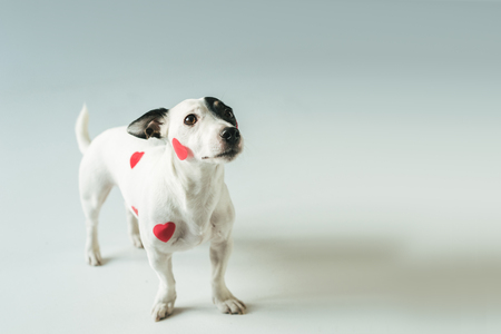 Jack russell terrier in red hearts for valentines day, on white Stock Photo