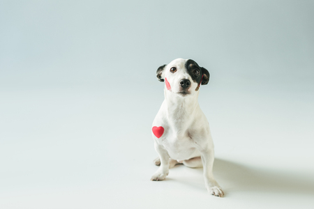 cute jack russell terrier dog in red hearts, on white