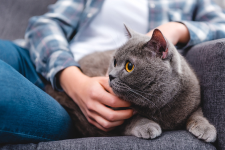 partial view of woman stroking cute british shorthair cat Фото со стока