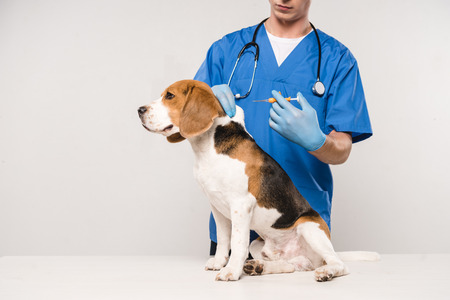 partial view of veterinarian holding syringe for microchipping beagle dog on grey background Stok Fotoğraf