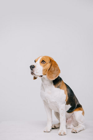 cute beagle dog sitting on table isolated on grey