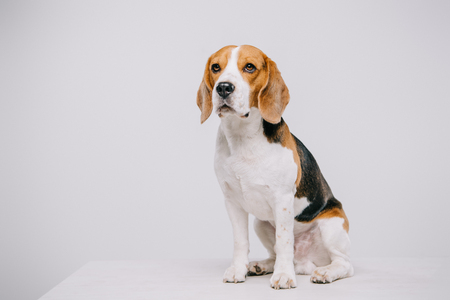 cute beagle dog sitting on table on grey background 写真素材