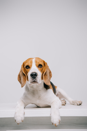 purebred beagle dog lying on table isolated on grey