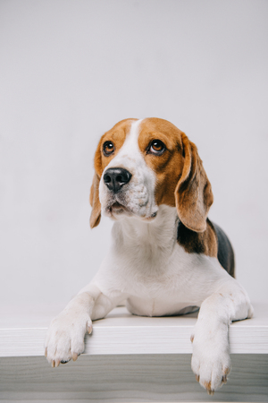 cute purebred beagle dog lying on table isolated on grey Stock fotó
