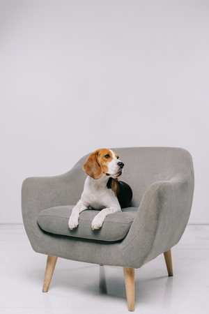 beagle dog lying in armchair on grey background