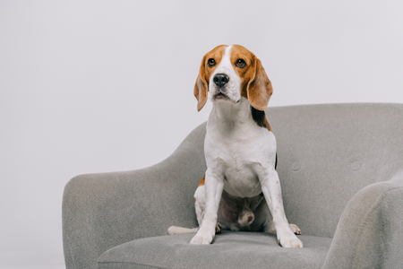 cute beagle dog sitting in armchair isolated on grey