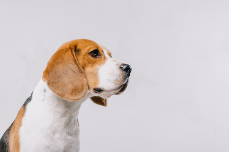 head of purebred beagle dog isolated on grey Stock fotó