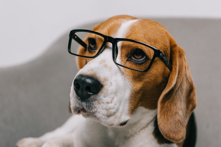 selective focus of beagle dog in glasses