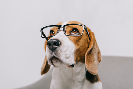 adorable beagle dog wearing glasses isolated on grey Stock fotó