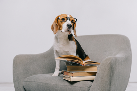 cute beagle dog in armchair with books on grey background Banque d'images - 116324217