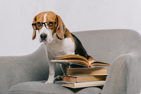 selective focus of cute beagle in glasses sitting in armchair near books isolated on grey Banque d'images - 116324390