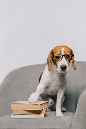 adorable beagle dog in glasses sitting in armchair with books isolated on grey