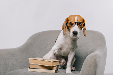 selective focus of adorable pet in glasses sitting in armchair near books isolated on grey Banque d'images - 116324396
