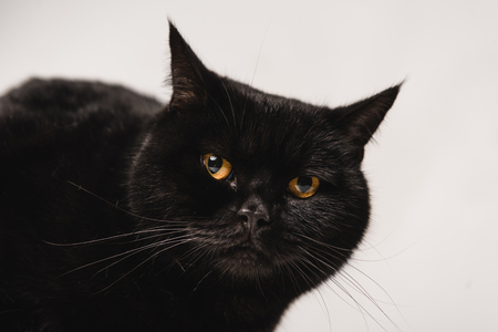 close up of fluffy black cat isolated on grey